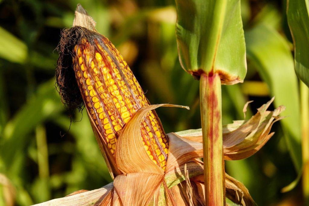 Maiskolben noch an der Pflanze mit ganzen Pflanzen auf dem Feld im Hintergrund