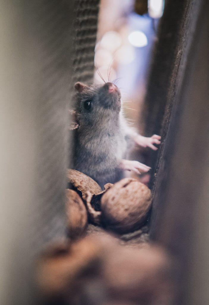 Ratten und Mäuse. Ungeziefer. Wie bekämpft man Ungeziefer an Bord?